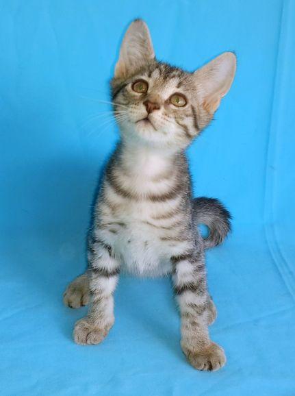 Шикарный Мраморный котёнок в дар