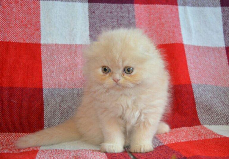 Хайленд фолд Шотландские вислоухие котята