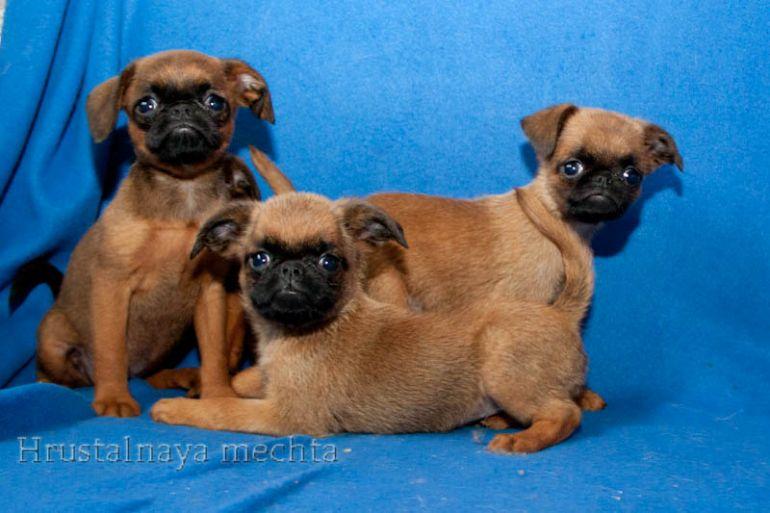 В продаже рыжие щенки пти брабансона
