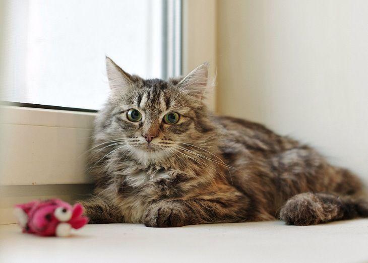 Сибирская кошка в добрые руки