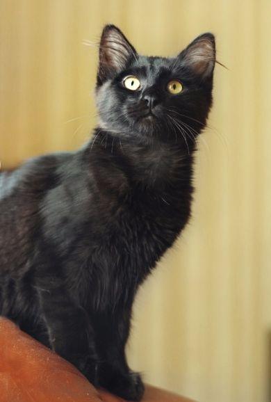 Чёрный котёнок Черри в добрые руки