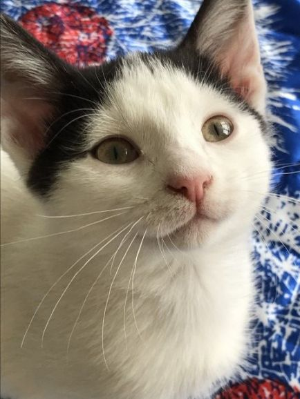 Двойняшки - Китри и Лионель, котята, мальчик и девочка, в дар