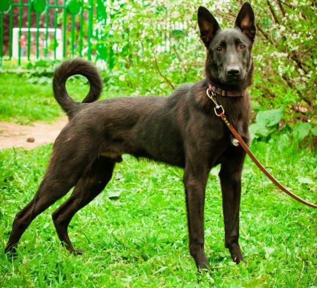 Чёрная жемчужина по имени Джек! Молодой пёс, 10 месяцев, в дар