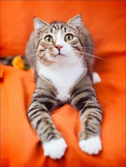 Котик Стефан - мечта кошколюба в дар