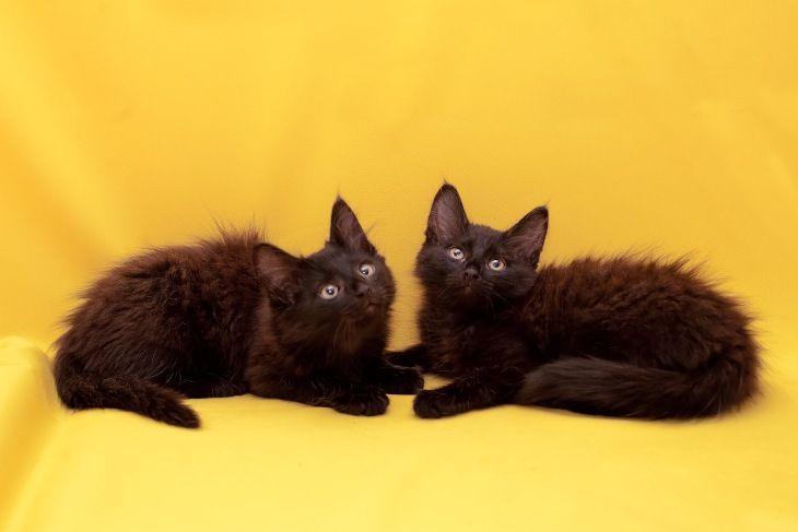Котята Соня и Софья в дар, в добрые руки