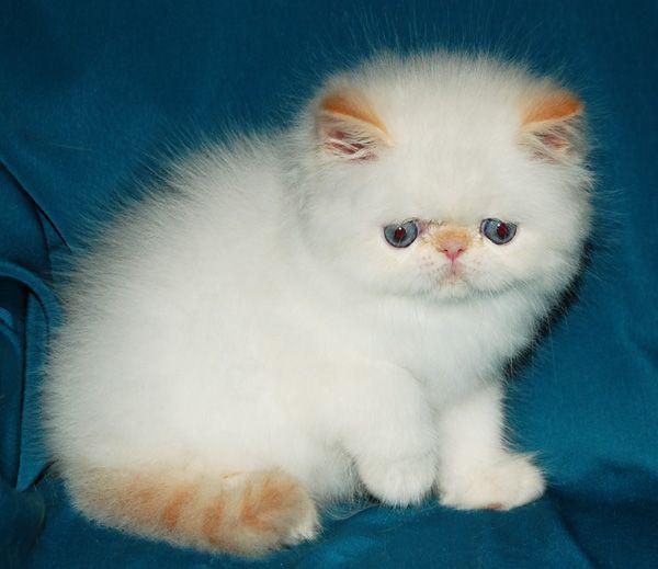 Персидской котик колор поинт