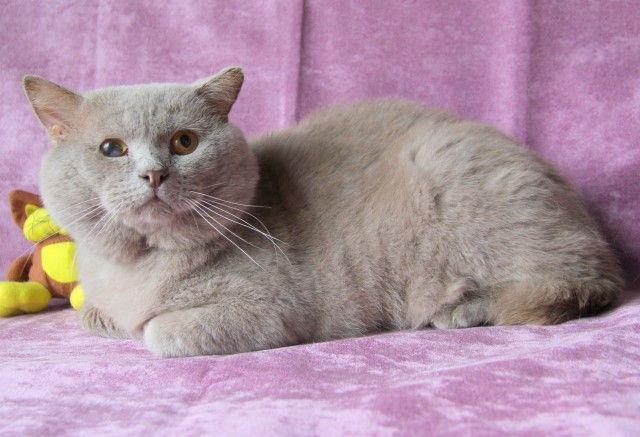 Круглощекий толстячок по кличке Мишка. Чистокровный британский кот в дар