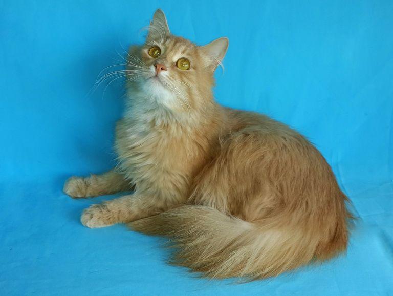 Пушистый кот Персик в дар