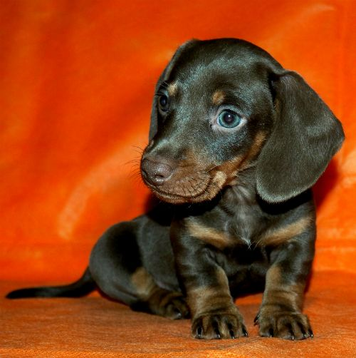 Таксы - шоколадки, гладкошёрстные щенки