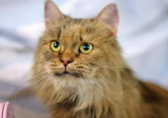 Все кошки как кошки, а я Королева! Шикарная красотка Амели в поисках дома