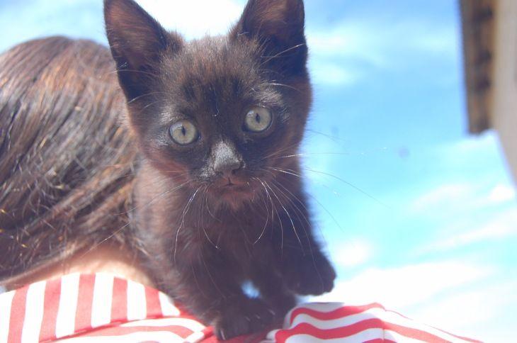 Котёнок Сэсси в добрые руки, в дар