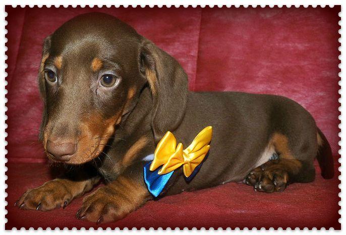 Такса - подрощенный щенок шоколадный мальчик