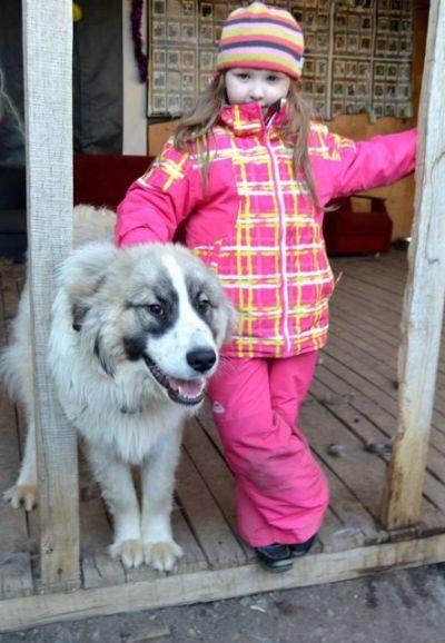 Пушистый красавец по имени Лавруша. Метис пиренейской собаки в дар