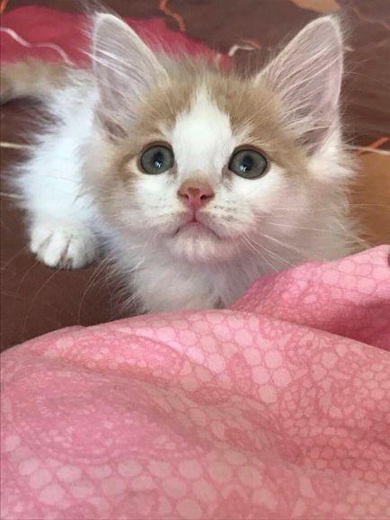 Отдам  котёнка с сердечком на носу