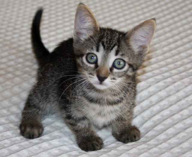 Полосатые котята, девочка и мальчик, в дар
