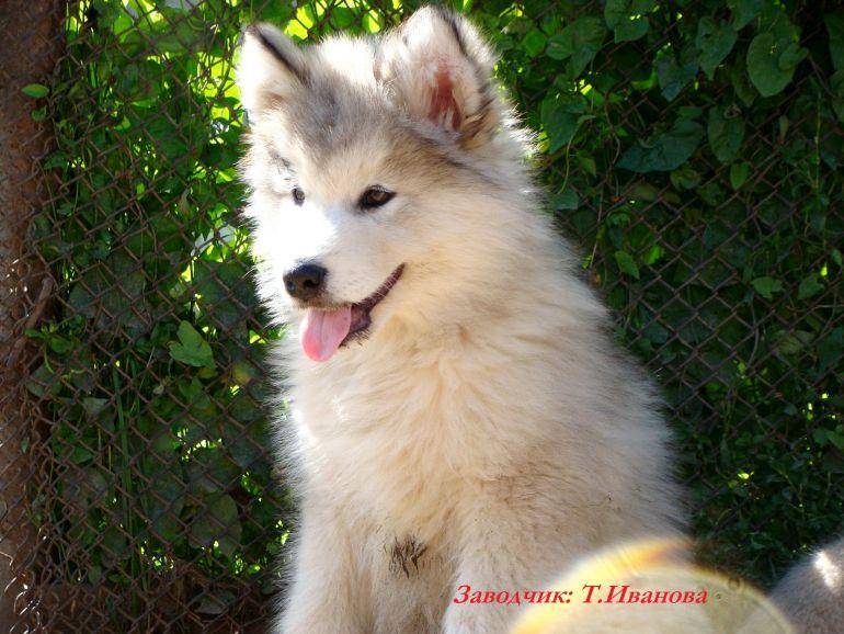 Красивые щенки Маламута