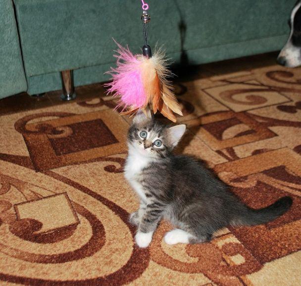 Отдам котёнка Алису
