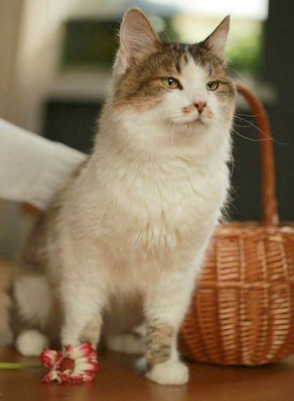 Васька-рыжие усы, пушистый кот уникального окраса в дар