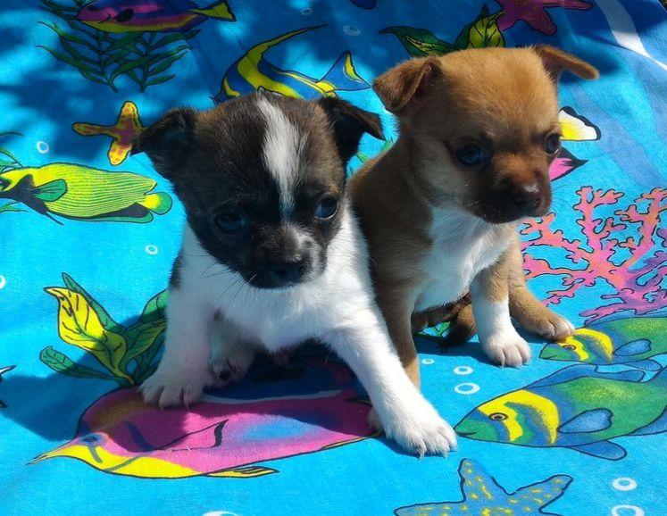 Купить щенка чихуа-хуа, разноцветные мальчик и девочка, РКФ