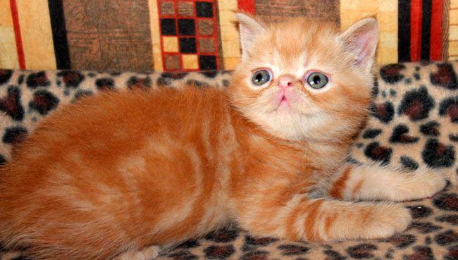 Экзотический котик красный мрамор