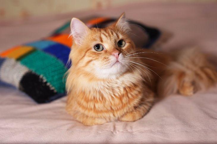 Роскошный рыжий котик Шер-Хан в дар