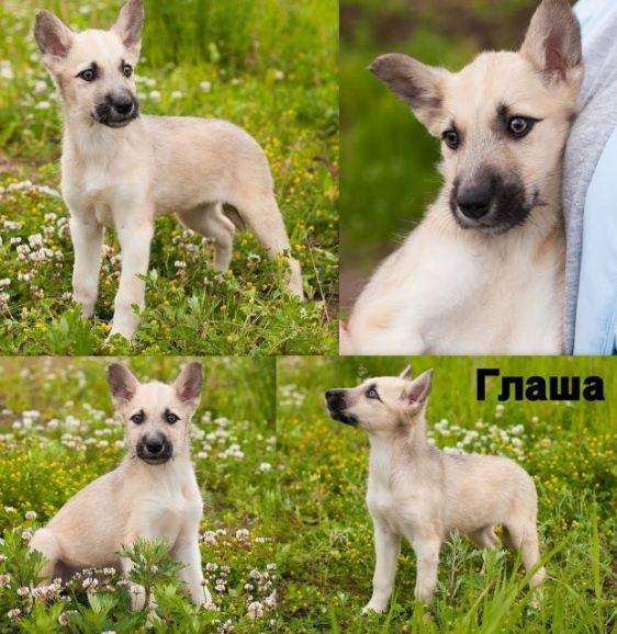 Нюша, Глаша и Максим, очень красивые щенки в дар