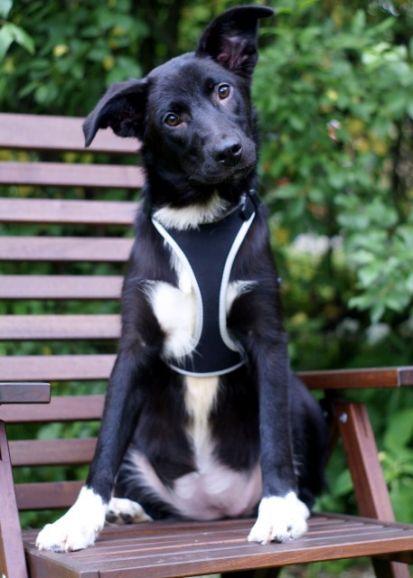 Юная модница Эмма, очень красивый щенок, 7 месяцев, в дар