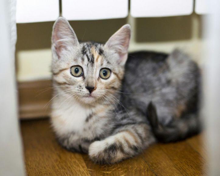 Трёхцветный котёнок Арина в  поисках дома