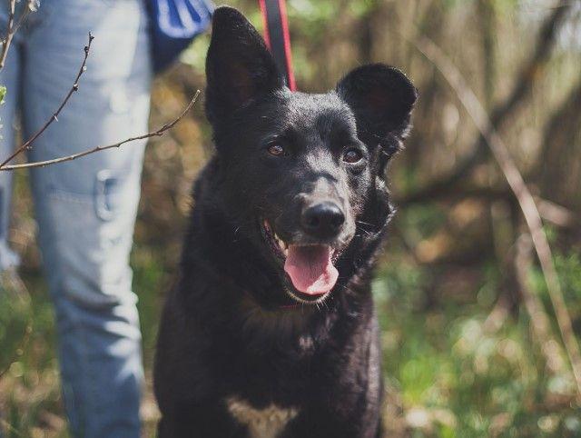 Красавица Чернушка, эффектная молодая собака в добрые руки