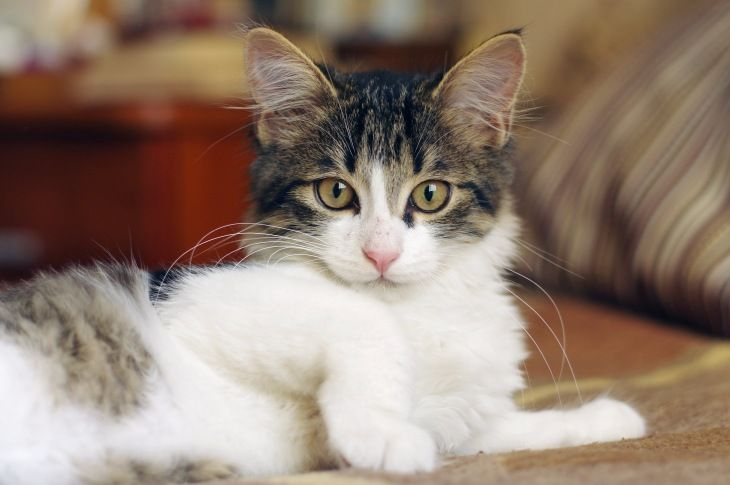 Красивый котёнок Сильвер в добрые руки