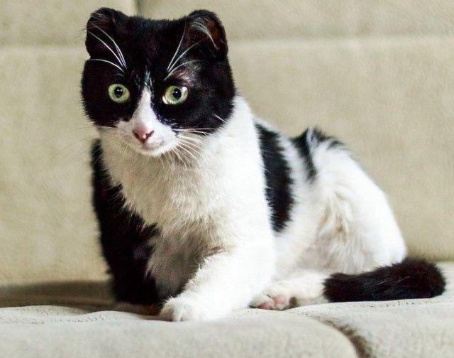 Василиса-маленькие ушки, самая необычная и очаровательная кошечка в дар