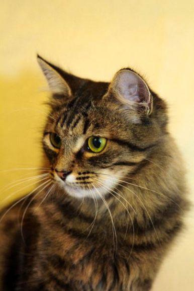 Хвост - пушистый и ласковый котик ищет дом