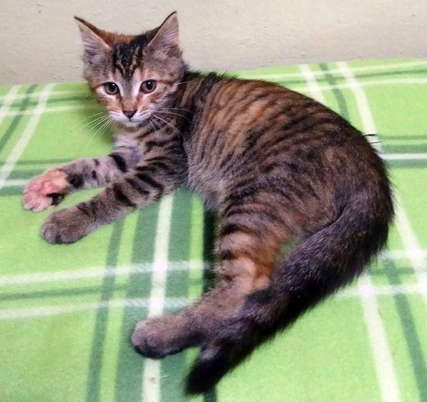 Очаровашка Ася, котёнок в добрые руки