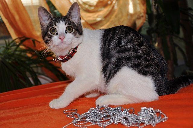 Котёнок для начинающих котоводов в дар
