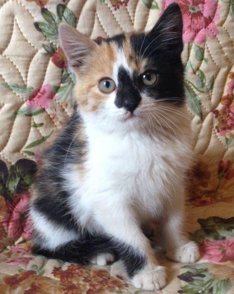 Чудо природы по имени Соня. Очень красивый трёхцветный котёнок в дар