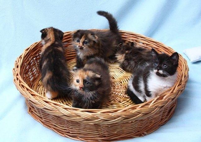 Забавные пушистые комочки в поисках дома! Котята, метисы шотландской вислоухой породы в дар