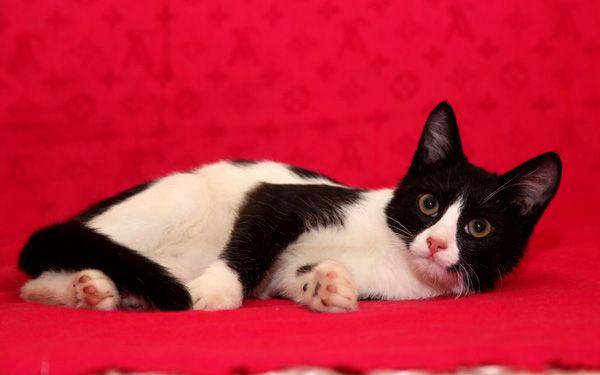 Ласковый котёнок Фигаро в добрые руки, в дар