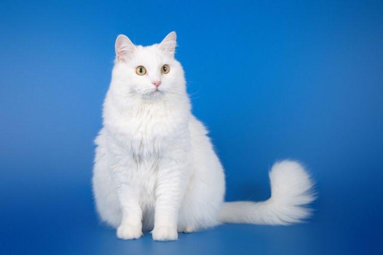 Благородный ангорский кот Линьер