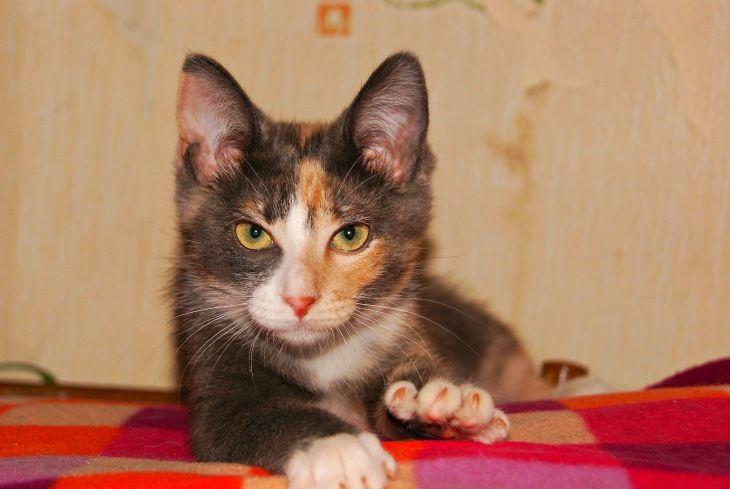 Трёехцветный котёнок в добрые руки