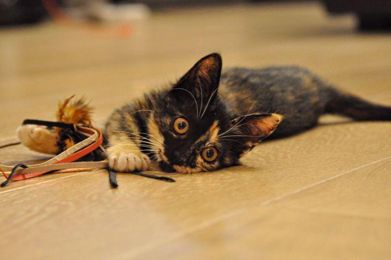 В добрые руки котёнок - девочка 2,5 месяца