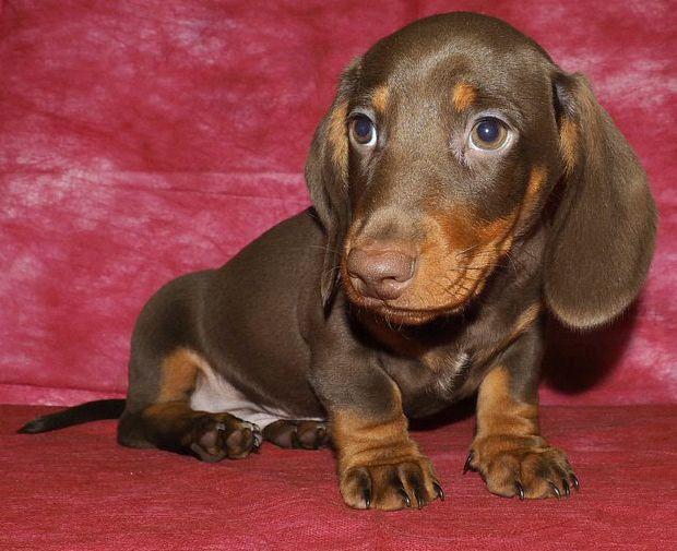 Таксы подрощенный щенок - шоколадный мальчик