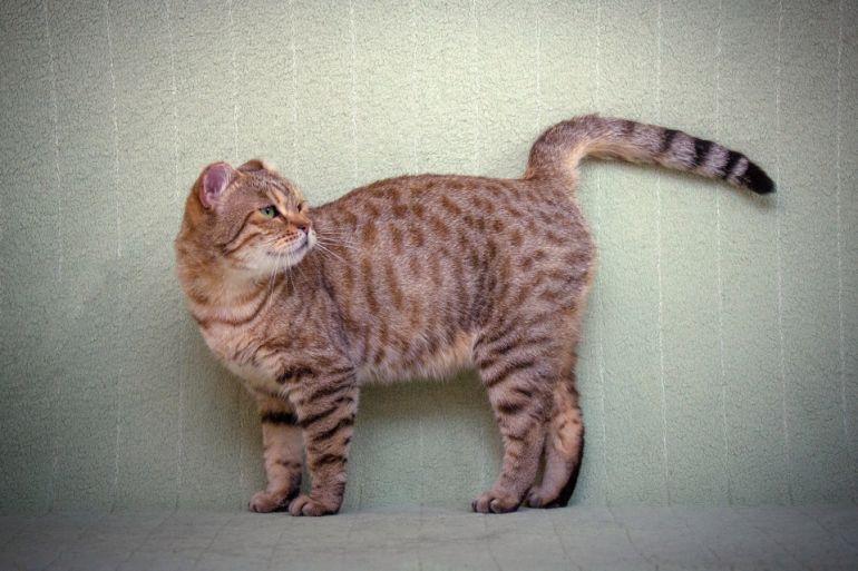 Красавица Веснушка - уникальная безухая кошка