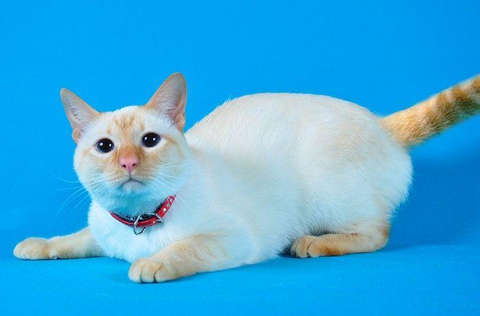 Тайский котёнок-подросток Витас ищет дом