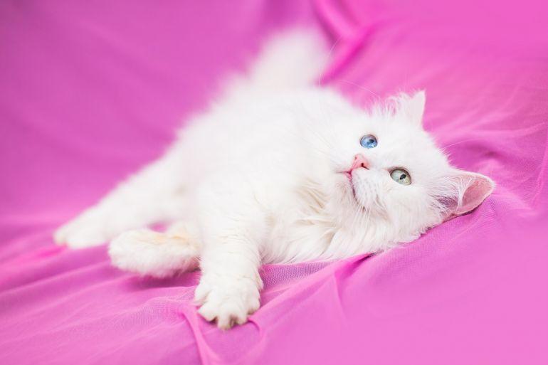 Кассиопея - роскошная белокурая пушистая красавица в дар
