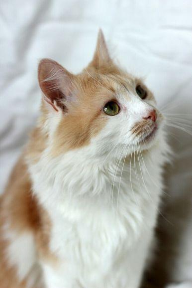 Обворожительной красоты котик Максик ищет дом