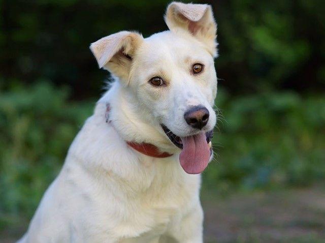 Белое чудо по имени Крис. Удивительно красивый молодой пёс в добрые руки
