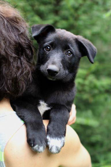 Кора - умница необыкновенная, щенок в добрые руки