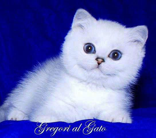 Британские шиншиллы котята шоу-класс