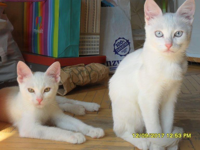 Белоснежные котята в дар