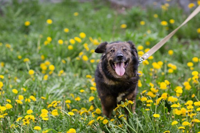 Метис бельгийской овчарки девочка Черри ищет дом
